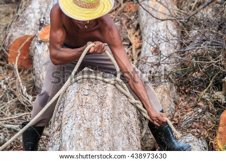 A Thai worker tie a rope on trunk before  cutting trunk with chainsaw - stock photo