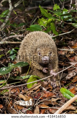 A thin-spined porcupine holds a small branch.  - stock photo