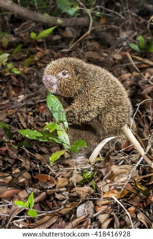 A thin-spined porcupine on the ground.  - stock photo