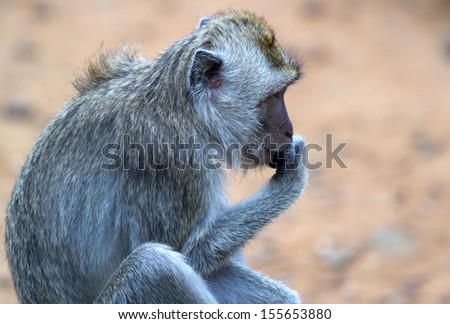 a thinking monkey - stock photo