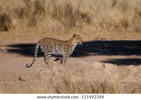 A thirsty female leopard stops to drink at a waterhole - stock photo