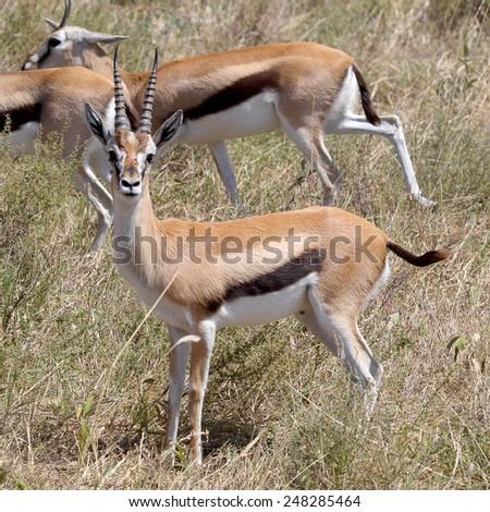 A Thomson's gazelle (Eudorcas thomsonii) looking at camera in Serengeti National Park, Tanzania - stock photo