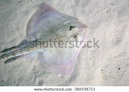 A thornback ray, Raja clavata, also known as thornback skate, lying on the seabed