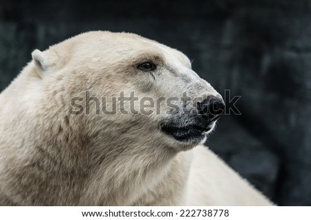 A thoughtful polar bear - stock photo