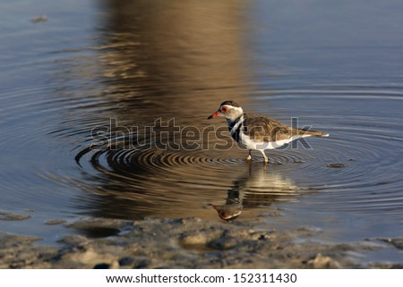 A Three-banded Plover (Charadrius tricollaris) on a flooded salt pan in Etosha National Park in Namibia