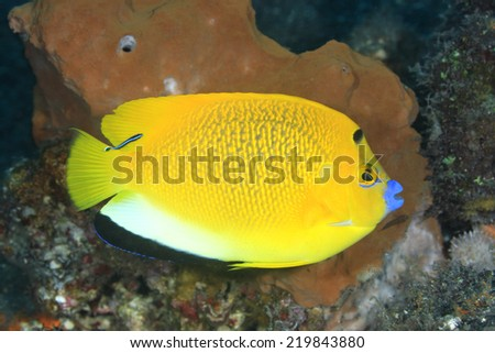A Three Spot Angelfish, Apolemichthys trimaculatus, with a Blue Streak Cleaner Wrasse, Tulamben, Bali, Indonesia. Bali Sea, Indian Ocean - stock photo