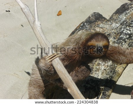 A three-toed sloth at the beach in Bocas del Toro, Panama, South America
