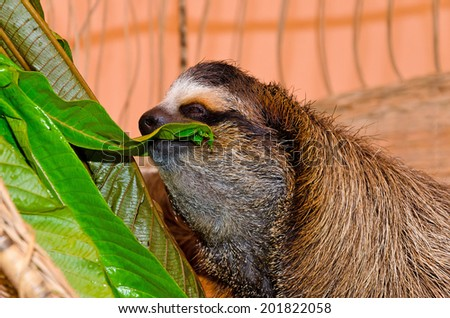 A three-toed sloth feeds on lush green leaves in Costa Rica - stock photo