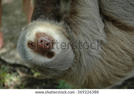 A three toed sloth giving a wink as he hangs from a branch, photographed hear Puerto Jiminez, Osa Peninsula, Costa Rica - stock photo