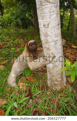A three-toed sloth on the ground ready to climb on a tree, Panama, Central America