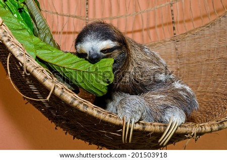 A three-toed sloth sits in her basket in a Sloth sanctuary in Costa Rica while feeding on green leaves. - stock photo