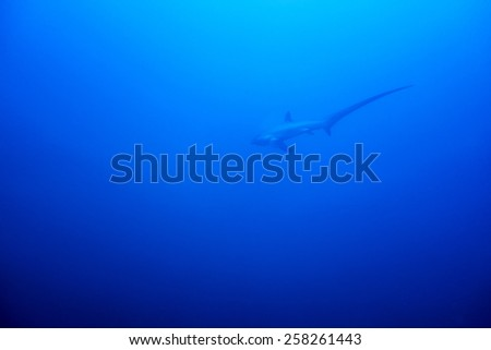 A Thresher shark swimming in the blue waters of the philippines