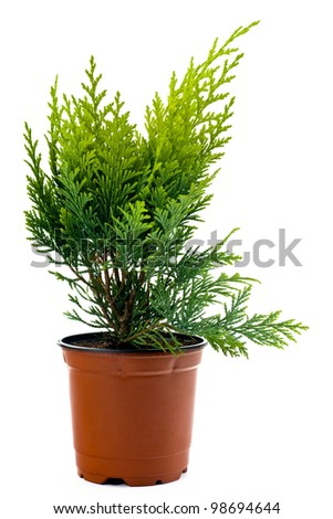 A Thuja seedling in a pot printed on a white background.