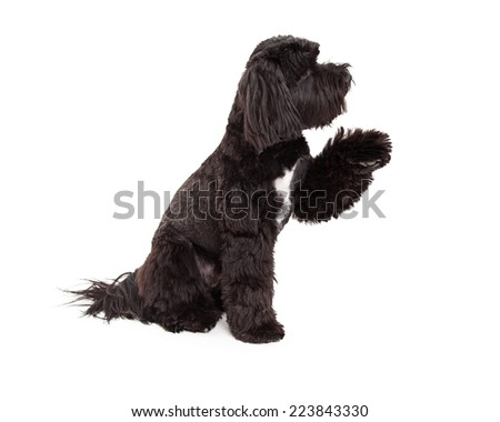 A Tibetan Terrier dog profile of entire body sitting with paw shake - stock photo