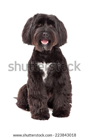 A Tibetan Terrier dog sitting facing forwards and looking into the camera. - stock photo