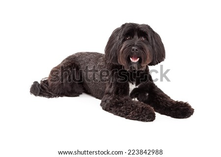 A Tibetan Terrier laying looking at the camera with mouth open - stock photo