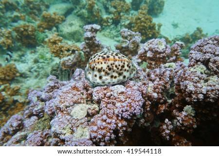 A tiger cowrie sea snail, Cypraea tigris, underwater on Montipora coral, Pacific ocean, Raiatea island, French Polynesia - stock photo