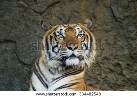 A tiger curious for the source of sound - stock photo