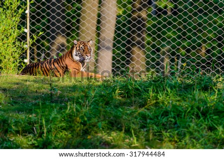 A tiger in captivity lying in the grass looking around behind a fence - stock photo