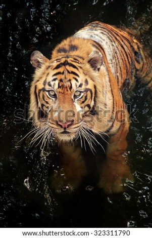 A tiger in the stream, looking up at camera - stock photo