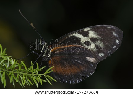 A tiger longwing (Heliconius hecale) butterfly of the Nymphalidae family. - stock photo