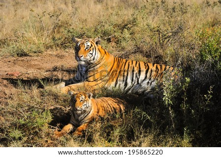A tiger mother and her cub - stock photo