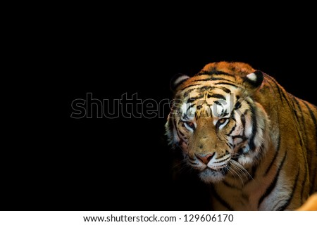 A tiger ready to attack looking at you - stock photo