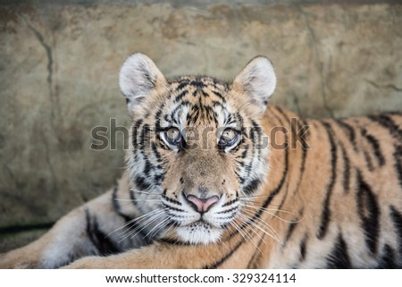 A Tiger resting in its cage in the famous Tiger Kingdom of Chiang Mai province in northern Thailand. Here you can play and spend time with these wild cats for a little fee. - stock photo