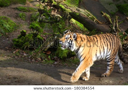 a tiger running roaring through the forest - stock photo