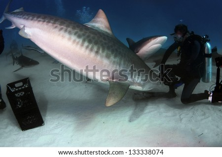 A tiger shark is inspecting a diver's camera - stock photo