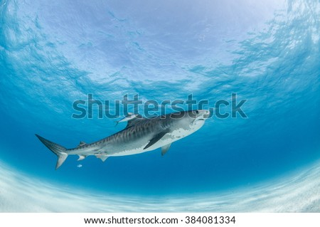 A tiger shark swimming by accompanied by a brave fish - stock photo