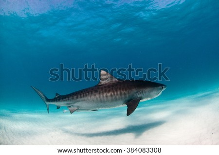 A tiger shark swimming calmly with a remora fish in clear water - stock photo