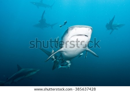 A tiger shark swimming face on, showing it's white stomach and it's mouth.