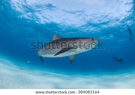 A tiger shark swimming gracefully with SCUBA divers on a eco tourism activity.