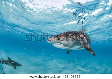 A tiger shark swimming in clear, shallow water with a visible hook and fishing line caught in their mouth. - stock photo