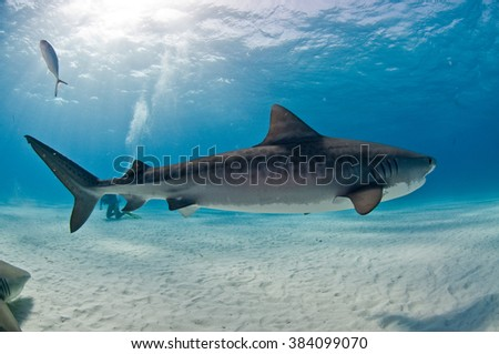A tiger shark swimming peacefully by a diver, accompanied by a lemon shark - stock photo