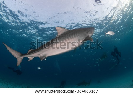 A tiger shark swimming peacefully by a group of divers