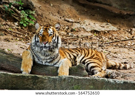 A tiger sitting in a zoo. - stock photo