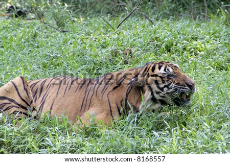 A tiger stalking in thick grass. - stock photo