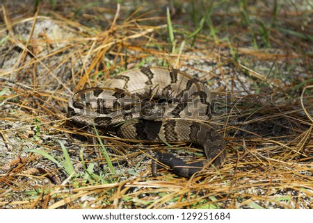 A timber rattlesnake posed to strike - stock photo
