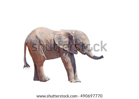 A tiny African Elephant calf, Loxodonta africana, isolated in white
