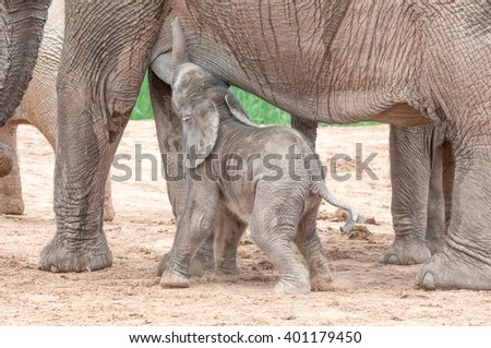 A tiny African elephant calf, Loxodonta africana, suckling on its mother - stock photo