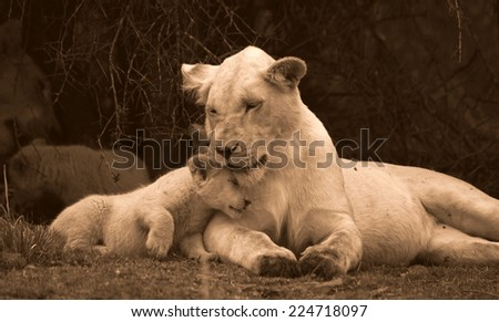 A tiny baby white lion cub rubs heads with her big sister showing love and affection and strengthening the bond in the pride. unfocused