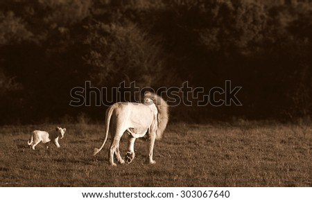 A tiny baby white lion cub walks with her dad, showing love and affection and strengthening the bond in the pride. - stock photo