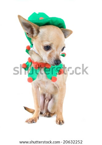 a tiny chihuahua dressed as an elf