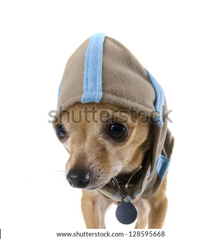 a tiny chihuahua dressed in a cute hoodie - stock photo