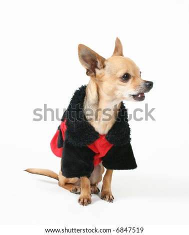 a tiny chihuahua dressed up in a ladybug coat