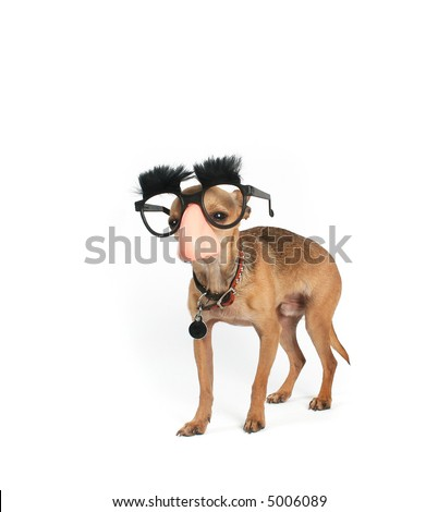 a tiny chihuahua dressed up in disguise - stock photo
