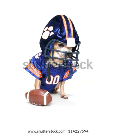 a tiny chihuahua in a football uniform - stock photo