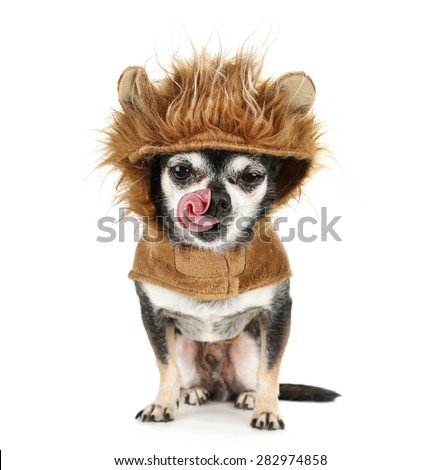 a tiny chihuahua in a lion costume licking his nose isolated on a white background - stock photo